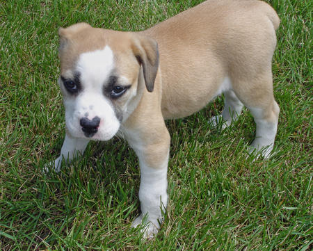 English Bulldog Beagle Mix Puppies