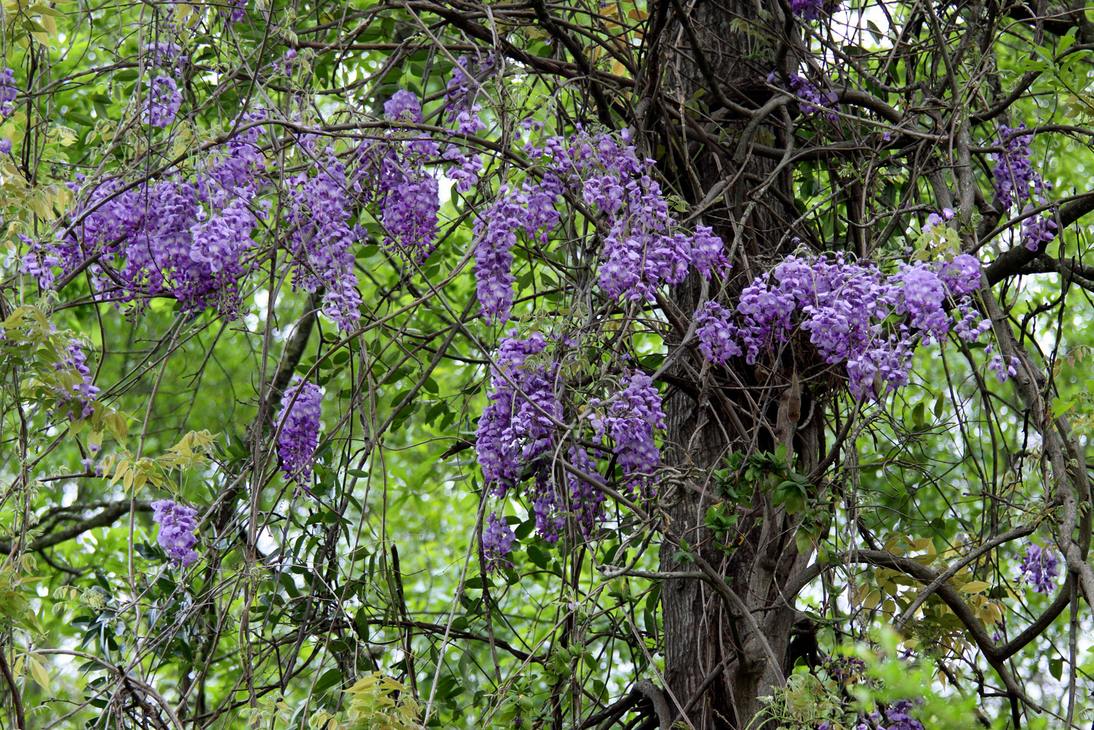 Southern lagniappe wisteria along the natchez trace for The wisteria