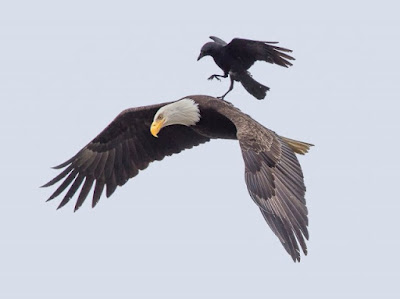 ворон и белый орлан