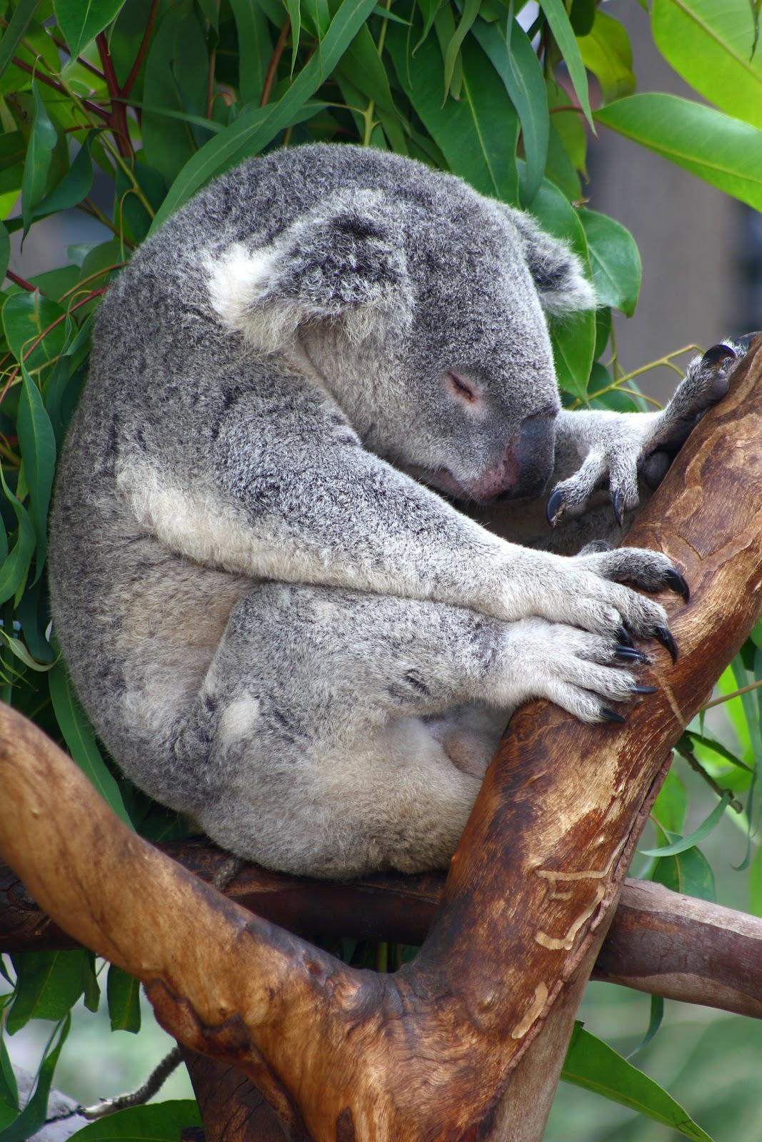 Animal Keeper: Koala - Phascolarctos cinereus Q Es Un Koala