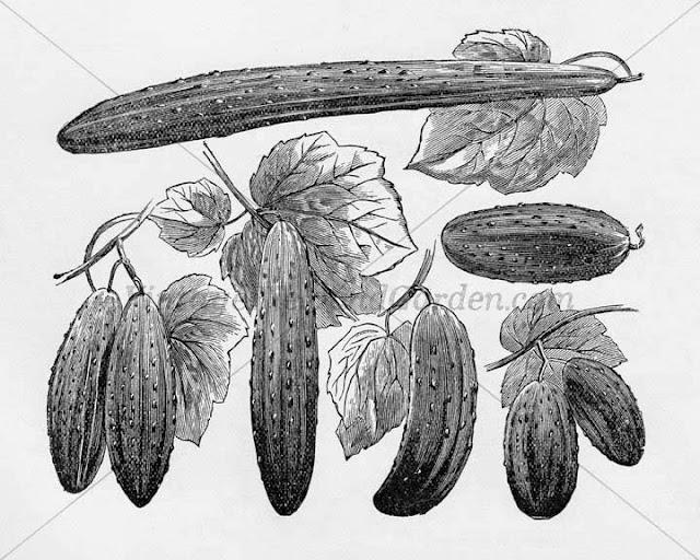 http://4.bp.blogspot.com/-MGTwHwbDt-Q/U-LcPpuH3NI/AAAAAAAAJTU/_ghBZq9UqHc/s640/1890+Cucumber+Varieties+(Preview).jpg