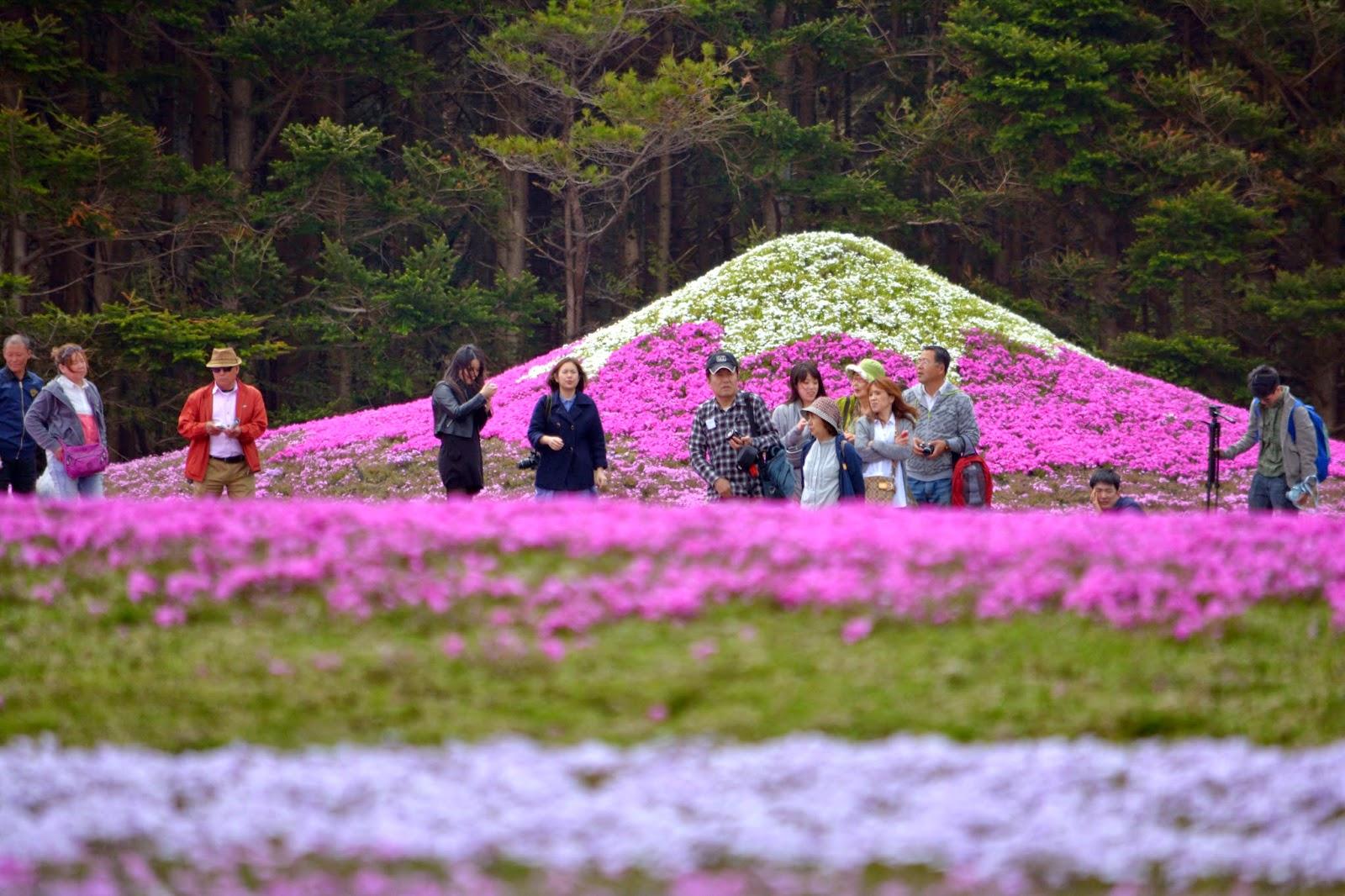 Fuji Shibazakura (pink moss) Festival 2014 in Pictures