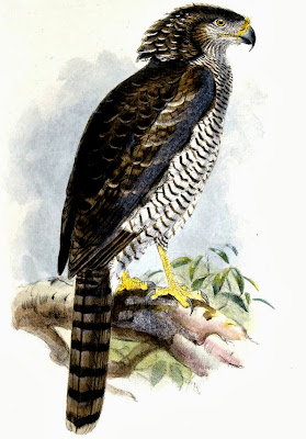 Águila culebrera azor Eutriorchis astur