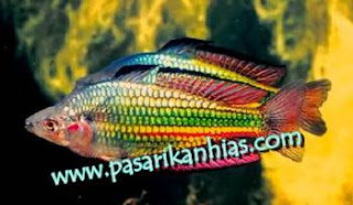 Jual Jenis Jenis Ikan Rainbow Murah
