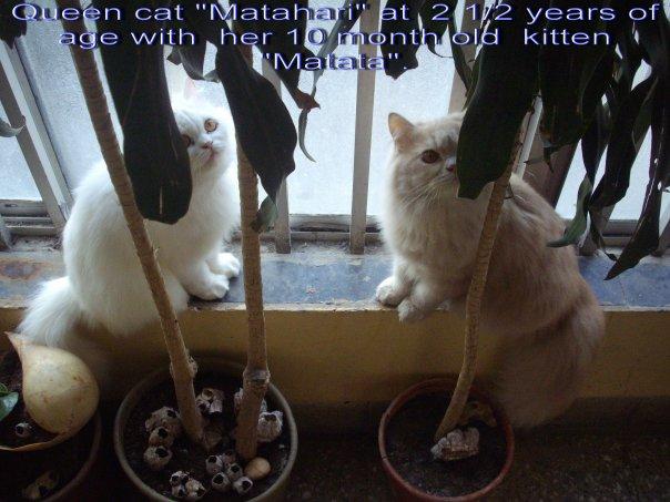 Queen cat Matahari and tomcat matata at home in Mumbai.(Monday 25-1-2010).