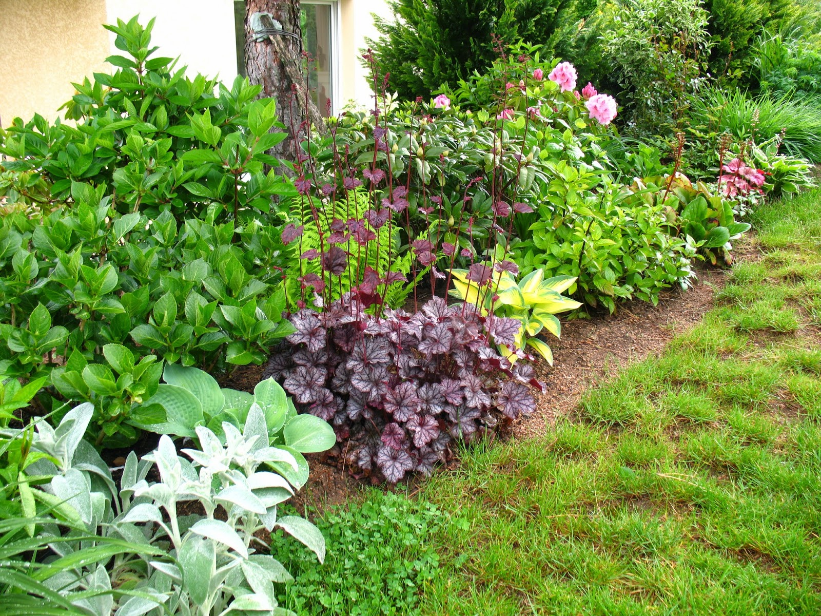 "Roses du jardin Chêneland: Heuchere-heuchera ""Citronelle"""