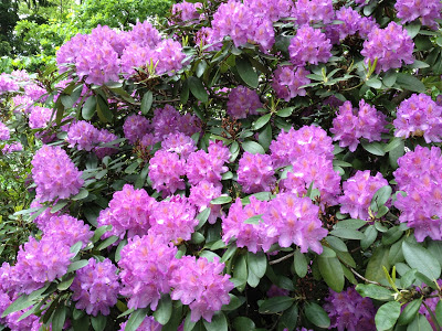 Haus am Waldsee Rhododendrons in full bloom