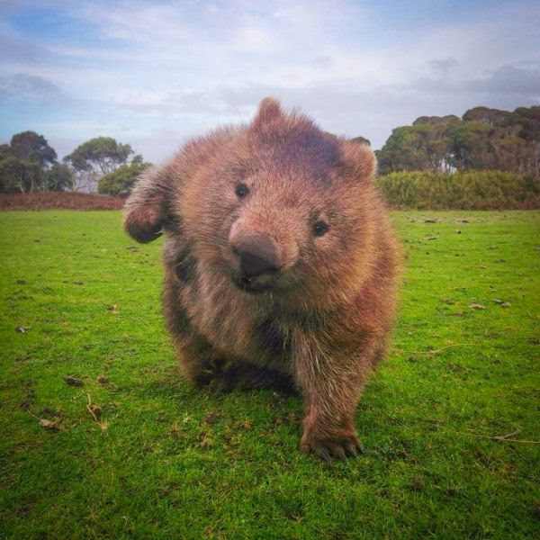 Funny animals of the week - 27 December 2013 (40 pics), cute wombat pic