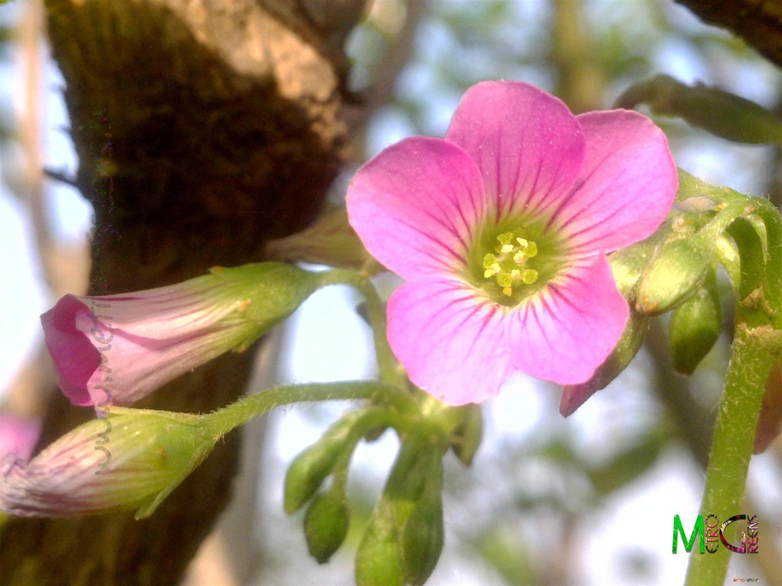Metro Greens: Pink Sorrel, Oxalis Debilis