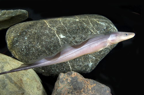 Aba aba knifefish gymnarchus niloticus malioboro for Aba aba knife fish