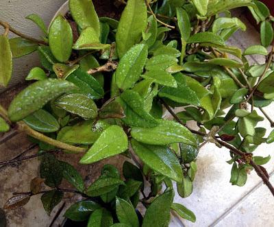 Hoya, Oleander Aphids, Garlic Pesticide