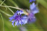 macro bleuet macro fleur sauvage
