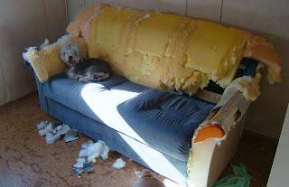 Cão destroi sofá