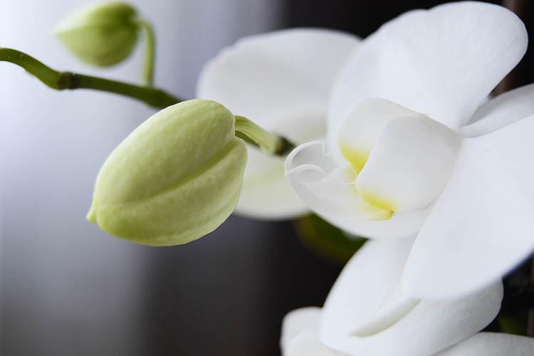 como cuidar orquidea