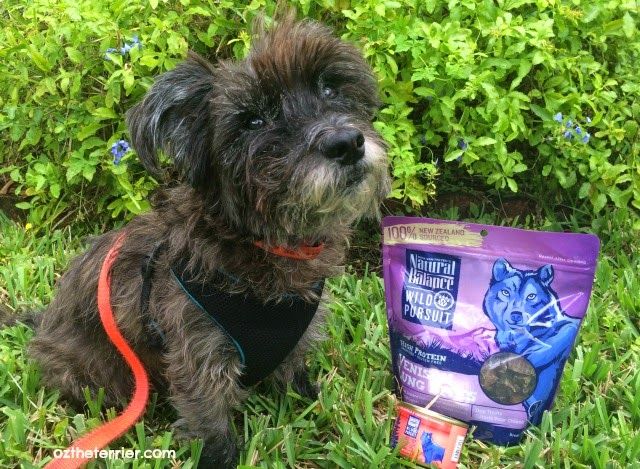 Oz the Terrier talks about Natural Balance Wild Pursuit kibble + raw dog food