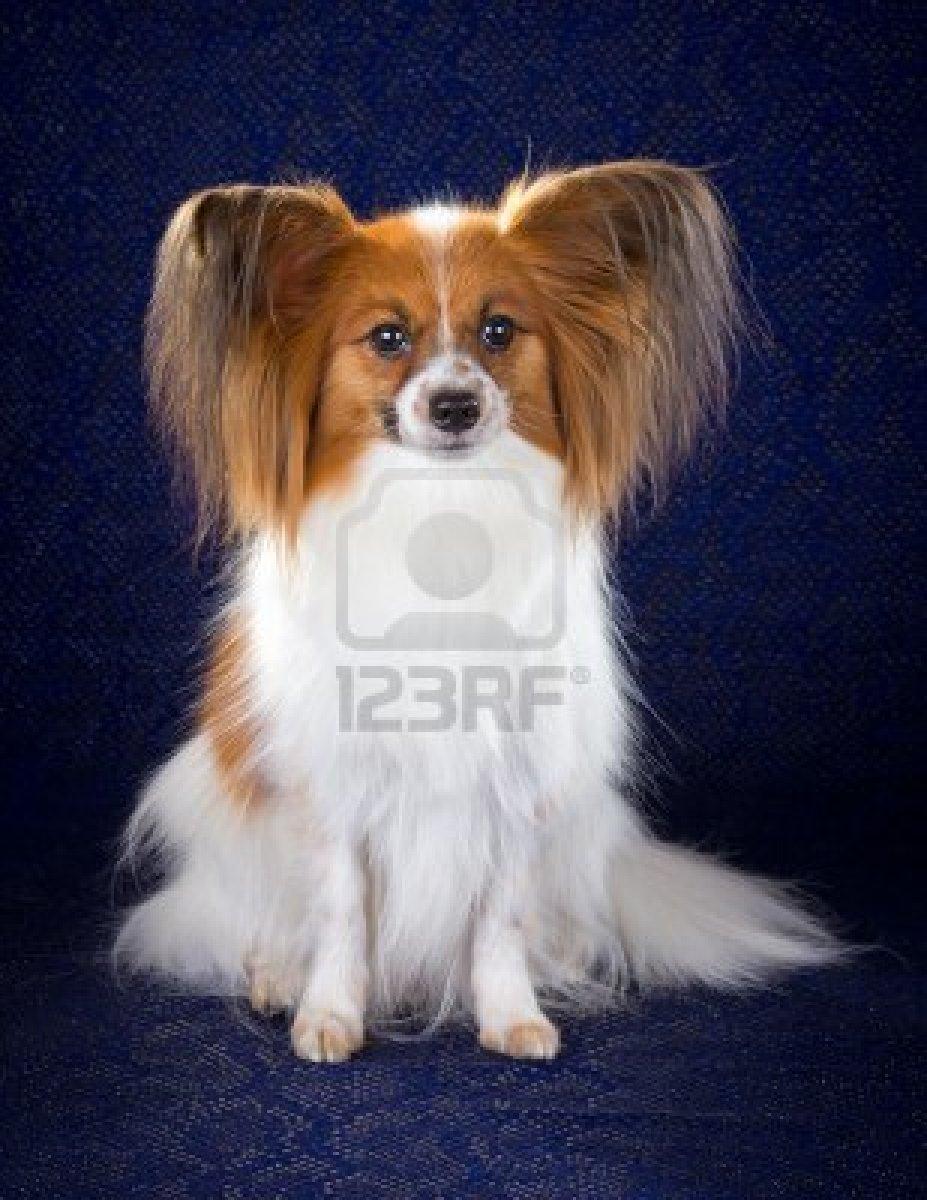 Cute Dogs: Papillon dog