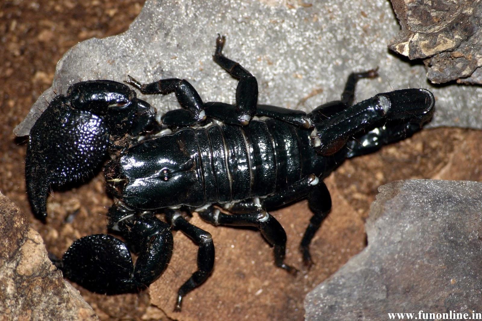Black Scorpion HD Wallpapers