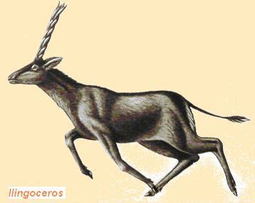 antilocapridae