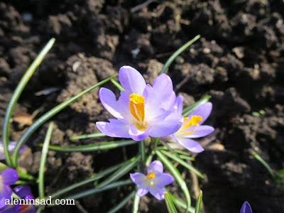 Crocus sativus, крокусы, сиреневые, весна, веcной, ростки, черенки, аленин сад, aleninsad