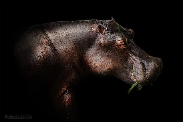 Hippo Paya Indah Wetlands