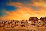 Camellos en el desierto - Camels