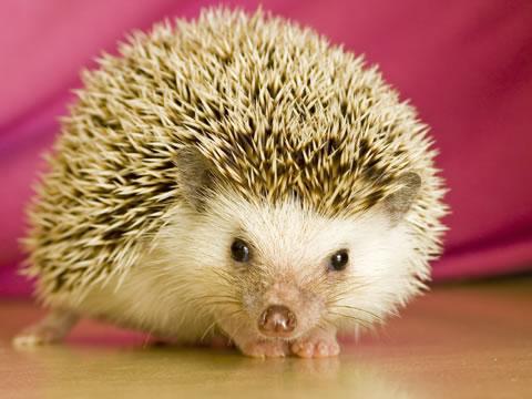 Amazing Hedgehog - Hedgehogs Facts, Photos, Information, Habitats ...