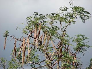 "photograph of Moringa oleifera - also known as a ""miracle tree"""