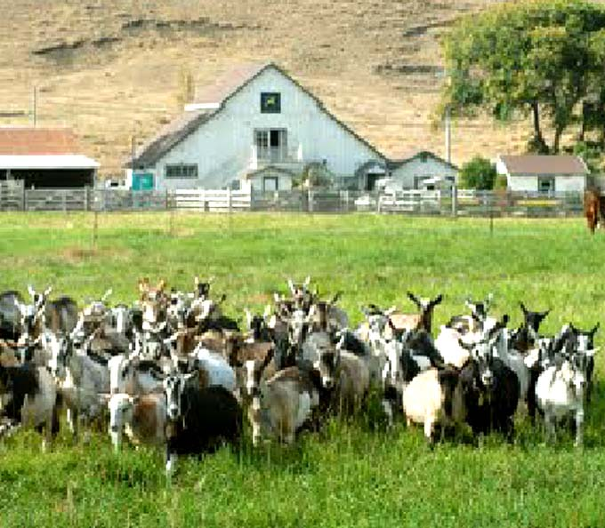 goats, goat farm, goat farming, start goat farming business, making a goat farm