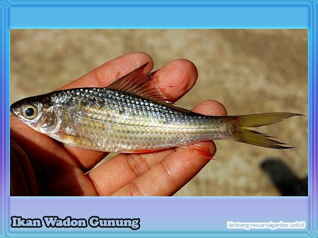 gambar ikan wadon gunung