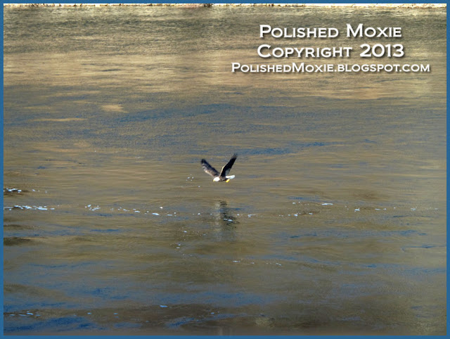 Image of adult bald eagle fishing.