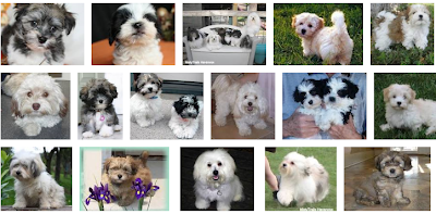 Havanese Puppy Breeders