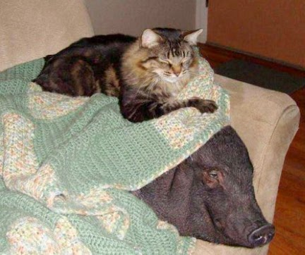 cat and pig on the sofa
