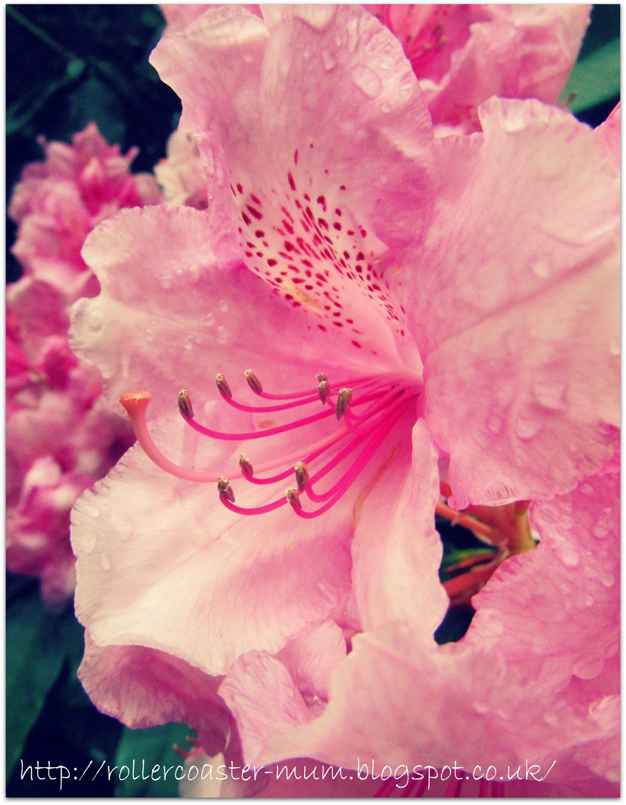 #alphabetphoto, F is for Flower, Rhododendron flower
