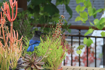 A Stellers Jay Inspecting the Crassula muscosa var. pseudolycopodiodes