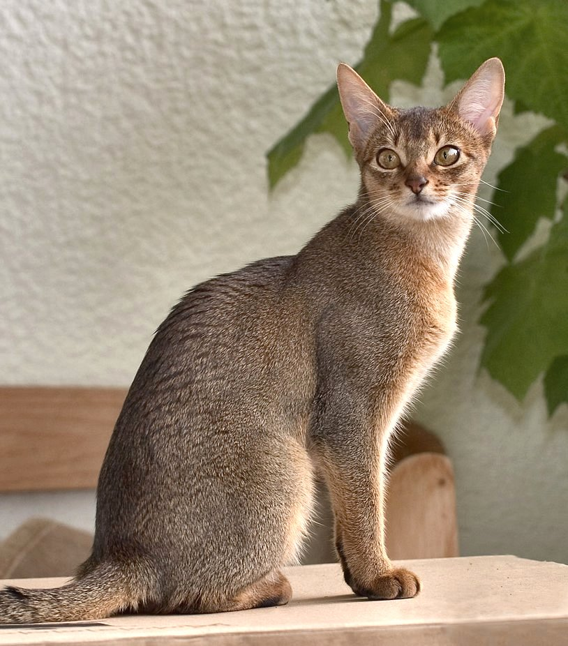 Fawn Colored Cat Black abyssinian cat