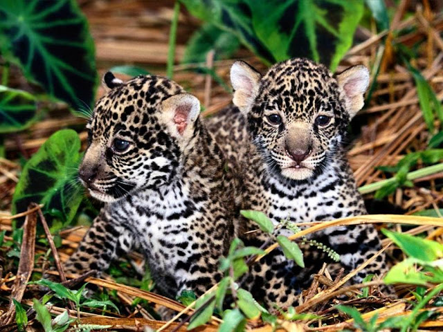 Two cute Leopards baby.