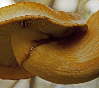 A close-up of a golden honey mushroom bending upward like an inverted penis.