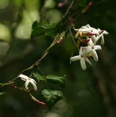 Jasminum abyssinicum Jasmine Flowers Species