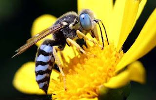 Australian blue-banded bee Amegilla murrayensis