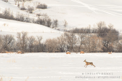 Deer running towards the shelter of trees around a farmyard  (snowmobiles were approaching); photo © Shelley Banks; all rights reserved