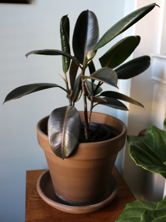 Mini Rubber Plant : Indoor office plant updates we ve got new rubber tree