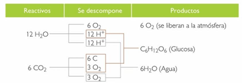 balance energético de la fotosíntesis