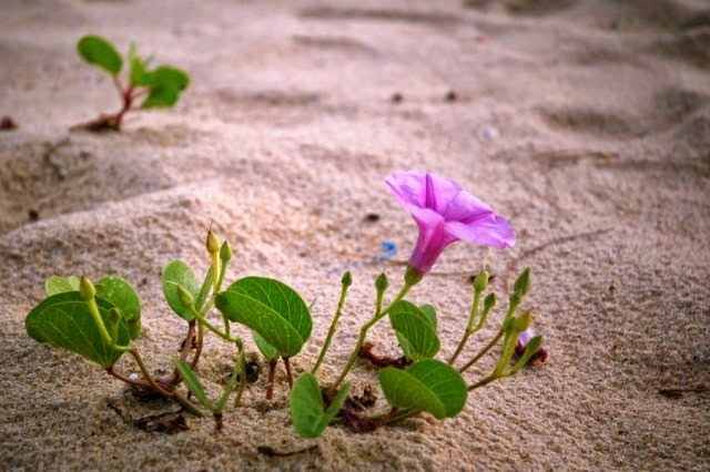 the meaning of beach morning glory flowers  photos and names of, Natural flower