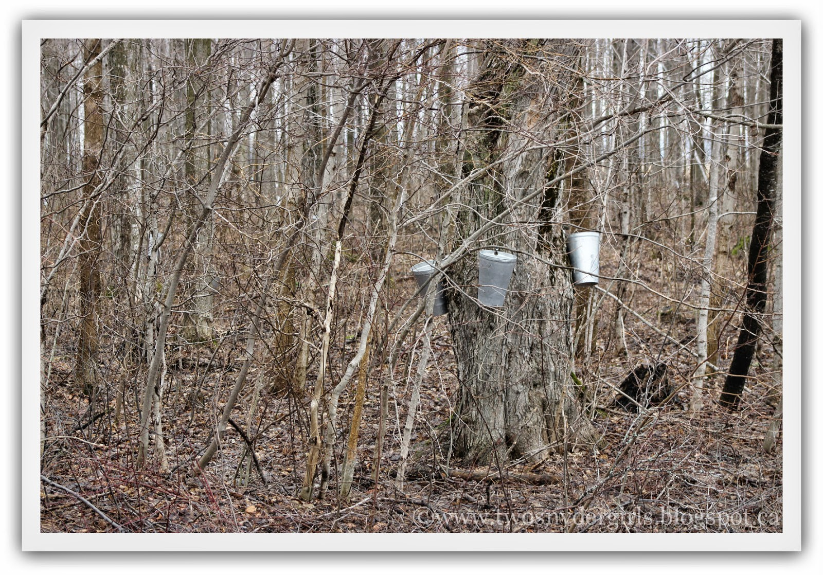 Three Maple Syrup Buckets on a tree