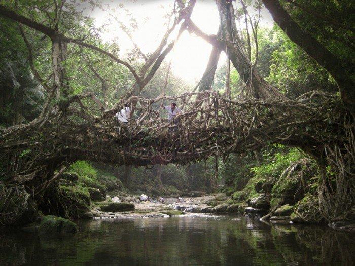 Des ponts en racines d 39 arbre vivant g n ral kulture - Comment tuer les racines d un arbre ...