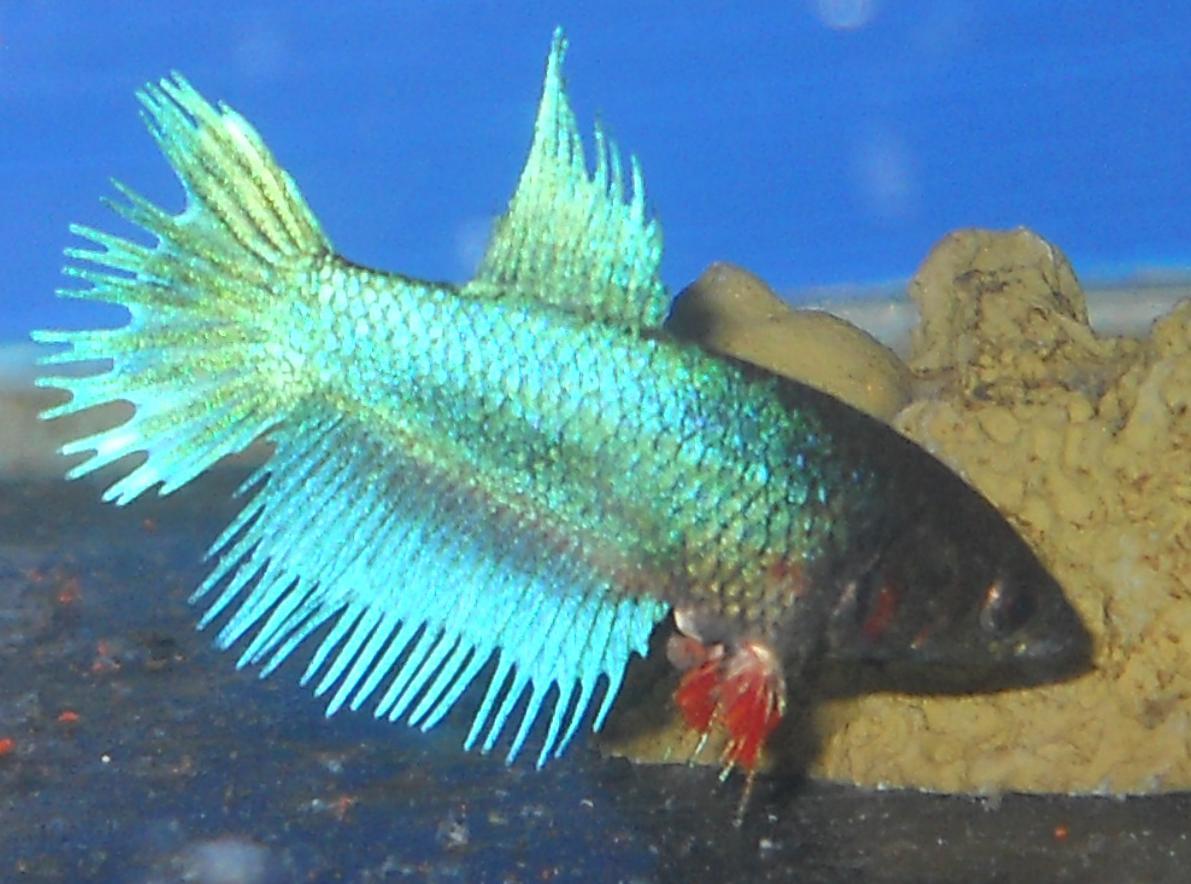 female betta fish egg spot