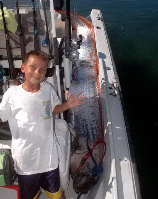 Oarfish fish world 39 s longest living the guinness world for Longest living fish