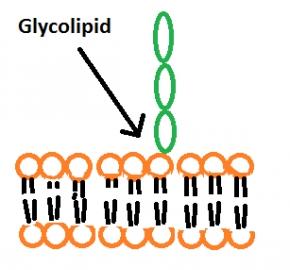 http://4.bp.blogspot.com/-MPZah0yHHk4/VBV5KvSY_uI/AAAAAAAAUMY/M0k_ynH3UX0/s1600/glycolipid.png