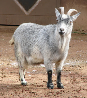 Dê lùn được nuôi đầu tiên tại các nước vùng tây Phi