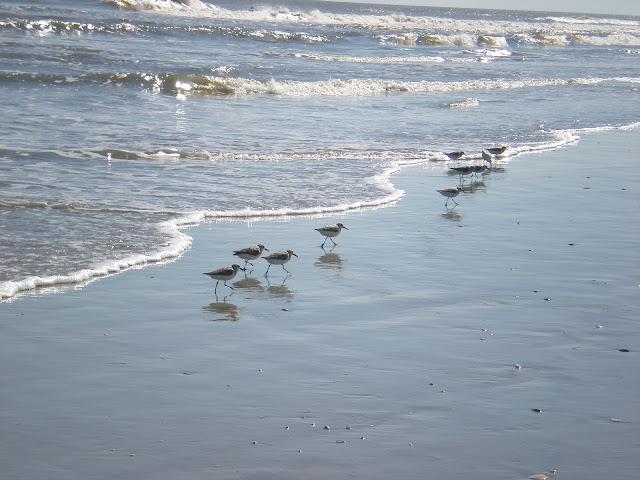 sand pipers!